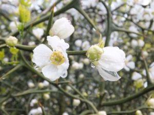 カラタチの花画像