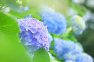紫陽花イメージ画像