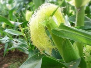 トウモロコシ画像