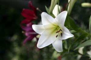 百合の花画像