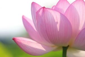 蓮の花画像