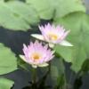 仏さまにゆかりの聖なる植物、蓮をご紹介