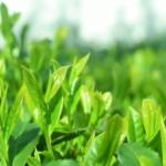茶葉イメージ画像